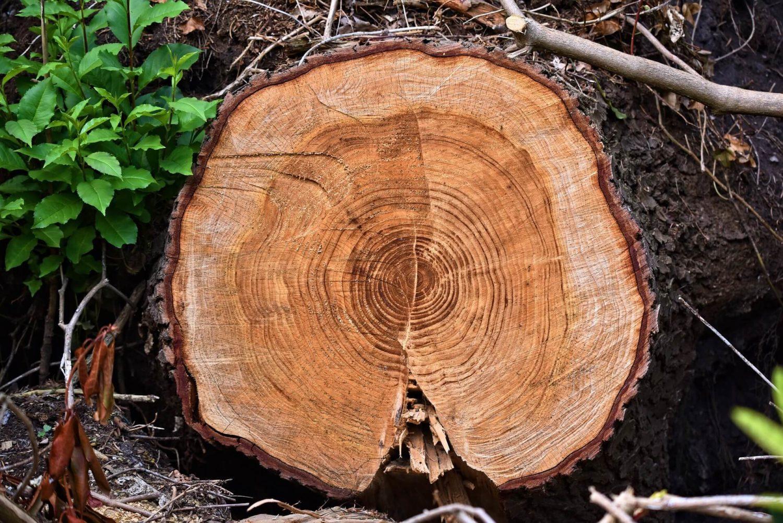 bois aubier et duramen